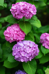 The bush of blooming liliac and purple Japanese hydrangeas ajisai. Close-up