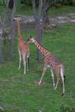 Giraffe - 209895227