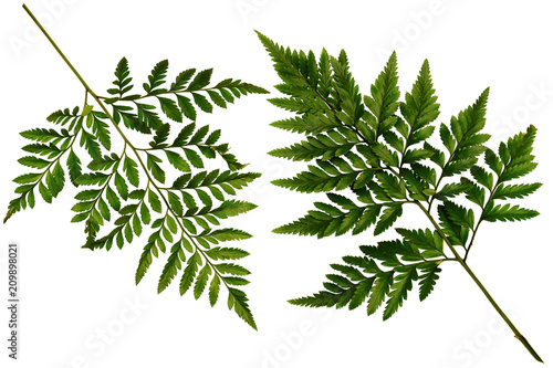 Two Green leaves fern tropical rainforest foliage plant isolated