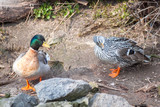 drake and duck on the shore of the pond close up - 209900825