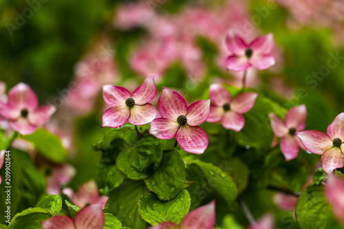 Foto Murales Dogwood tree flowers