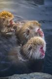Japanese Snow Monkeys relaxing at onsen hot springs - 209906688
