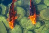 Japan Koifish Carp in Koi pond - 209909034