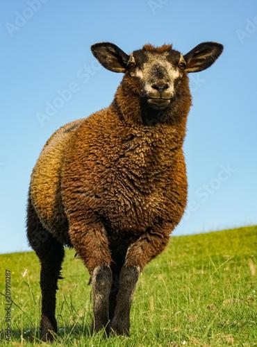 Fotobehang Noordzee Schwarzes Schaf auf dem Deich, Hochformat