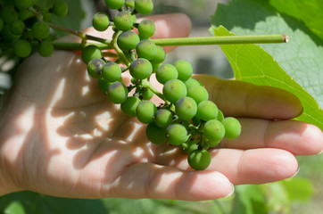 Bunch of unripe grapes in the palm of your hand.