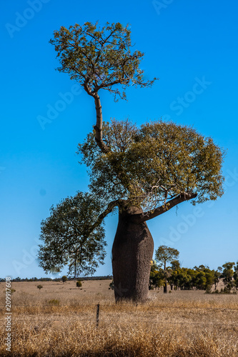 Fotobehang Baobab Adansonia gregorii, commonly known as the boab, a tree in the family Malvaceae.