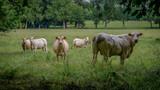 Troupeau de vache dans une prairie au printemps