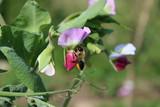 Fleur de pois visiteé par cette abeille coupeuse du rosier (Megachile centuncularis) - 209930808