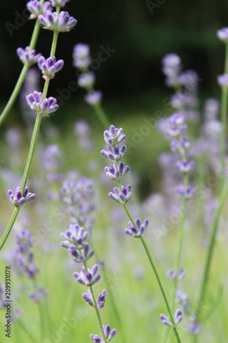 Aluminium Lavendel Fleurs de lavande