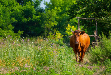 Brown cow grazing on pasture