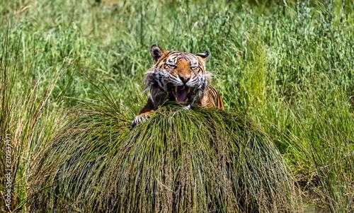 Foto Murales Tigre au reveil