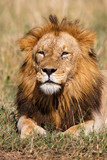 Portrait of a dominant male lion in the Masai Mara National Park in Kenya - 209944012