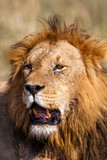 Portrait of a dominant male lion in the Masai Mara National Park in Kenya