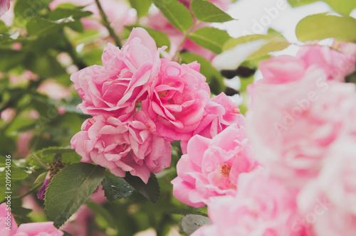 closeup of rose bush flowers in garden