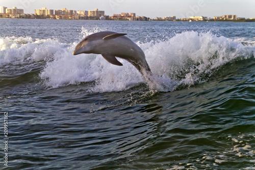 Fototapeta Joyfully Leaping Bottlenose Dolphin in Clearwater Bay, Florida
