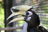 great hornbill buceros bicornis in cage - 209963414