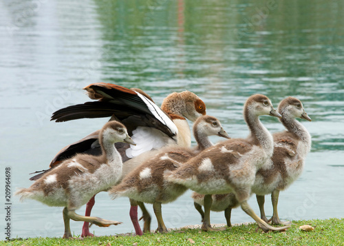 Foto Murales One adult Egyptian Goose with baby geese walking on green grass next to a calm lake. Egyptian geese were considered sacred by the Ancient Egyptians, and appeared in much of their artwork.