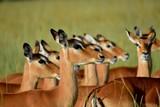 impala herd - 209972617