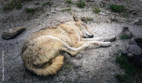Naklejka The wolf sleeps on the rocks after a close-up shoot
