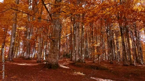 Walking and looking through autumn forest. Beautiful colors of the fall. Picturesque trees in the park. Red leaves