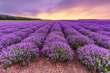 Lavender field. Beautiful lavender blooming scented flowers with dramatic sky.