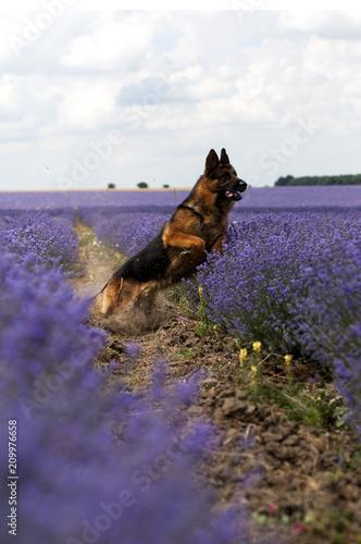 German Shepherd gog at lavender field - 209976658