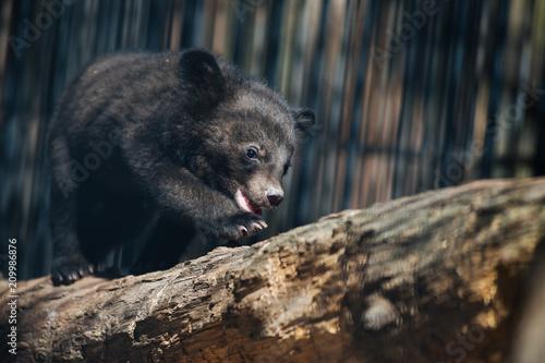 Foto Murales Himalayan black bear cub
