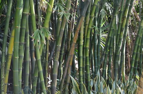 Bambous, océan indien