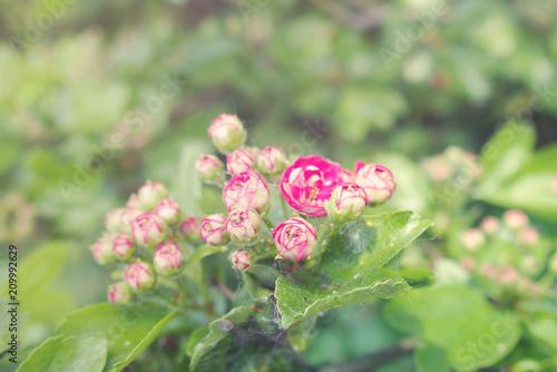 letnie białe i różowe drobne kwiaty na zielonym drzewie oświetlone gorącym jasnym słońcem