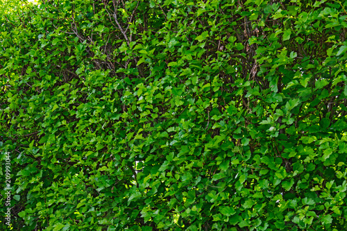 green leaves background - 209993044