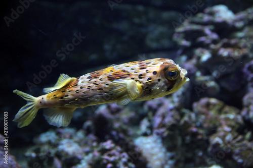 Foto Murales Kugelfisch  (Tetraodontidae)