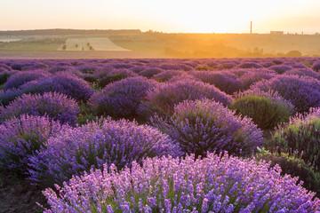 lavender field in sunrise