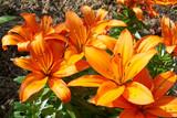 Lilie mit orange Blüte