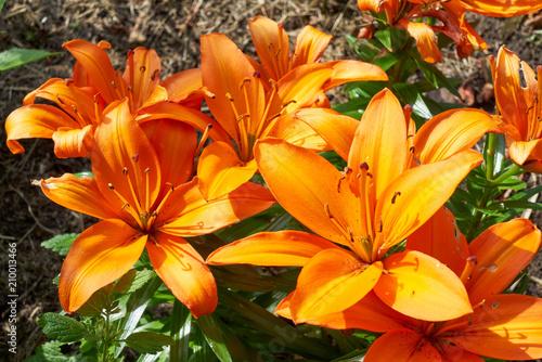 Fototapeta Lilie mit orange Blüte
