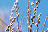 fluffy willow buds on a blue sky background close-up - 210015223