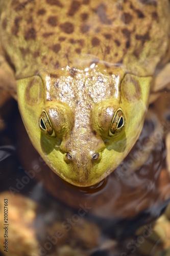 Fotobehang Kikker Maine Bullfrog in River