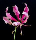 Color fine art still life floral macro image of a single isolated white red lily blossom on black background