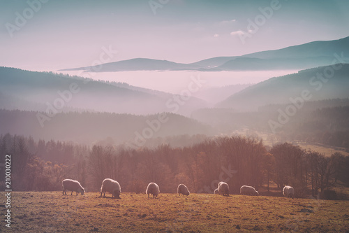vintage flock of sheep - 210030222