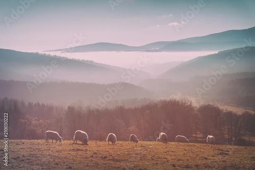 vintage flock of sheep - 210030222