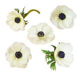 Set of anemone flowers - 210033820