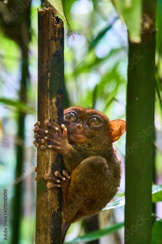 Foto Murales Tarsier Monkey Philoppines