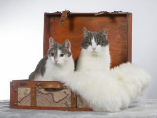 Domestic cat in a wooden suitcase, Funny cat picture. Image taken in a studio.