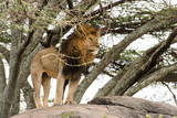 Beautiful lion standing on a stone (hidden by several branches)