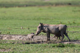 Mother warthog with babies in Ngorongoro crater - 210044039