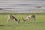 Two male impala fighting (playing) with their horn - 210044099