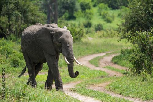 Fototapeta Elephant walking near pathway in the park