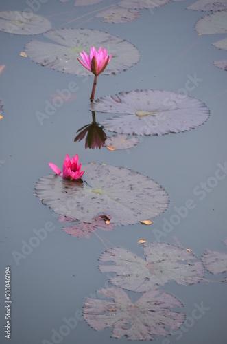 Foto Murales lotus flower pink