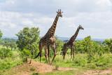 Male and female giraffe - 210047089