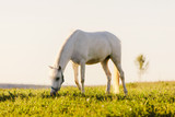 Young white horse eating grass from a field. - 210051086