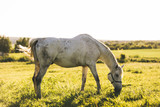 Purebred white horse eating grass on a field. - 210051087
